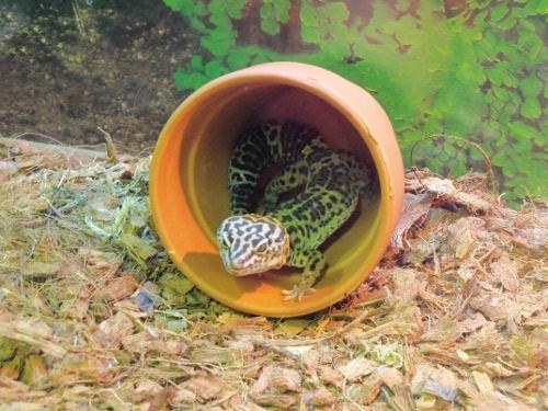 эублефары семейство гекконов
