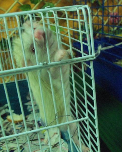 белый крысоежик