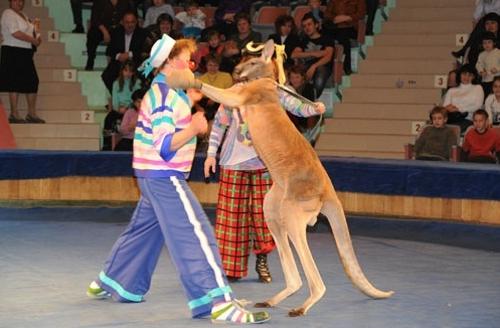 боксер-кенгуру