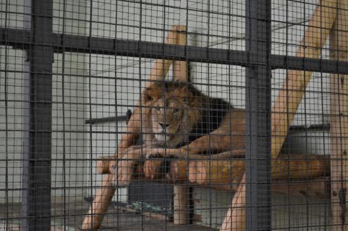 лев челябинск зоопарк