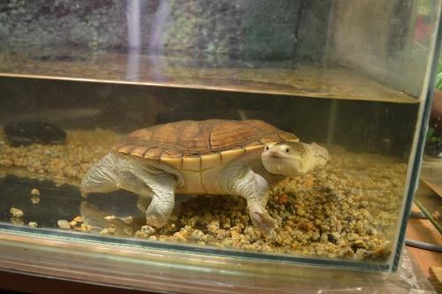 змеиношеея черепаха