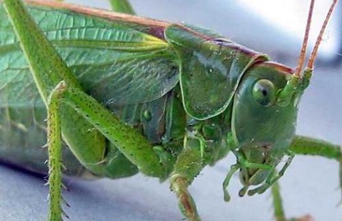 саранча зеленая