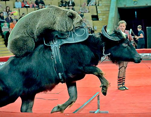 медведи на буйволах
