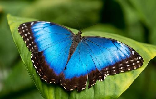 бабочка голубая морфо