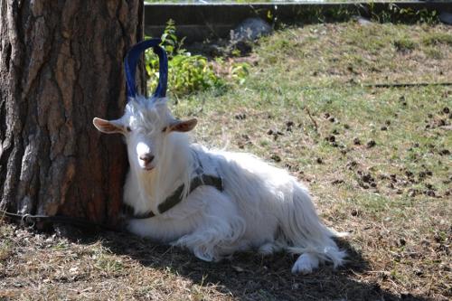 коза лежит