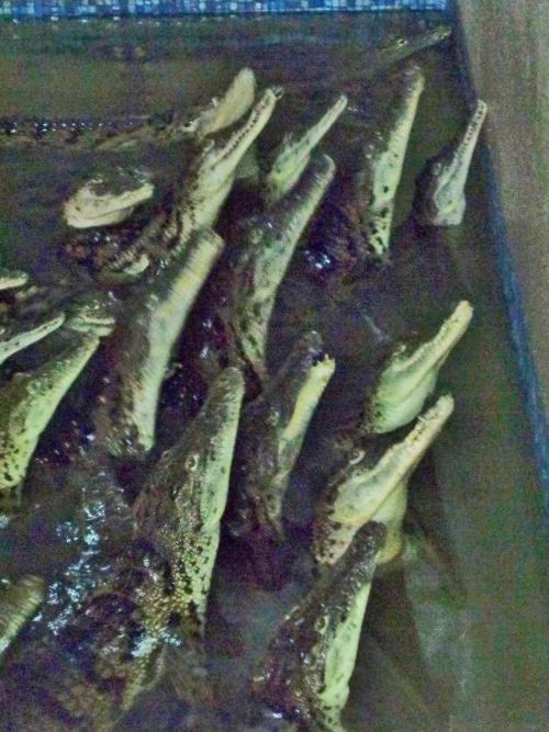 молодые крокодилы ждут корм