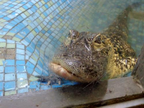 крокодил со сломанной челюстью